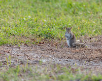 Белка в траве Стоковые Фото