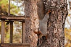 Белка держит дерево Стоковые Фотографии RF
