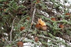 Белка есть гайку на дереве Стоковые Фото