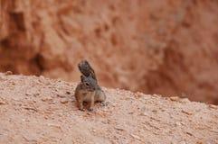 Белка живой природы национального парка каньона Bryce Стоковые Изображения RF