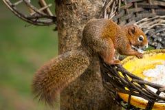 Белка или малый гонг, малые млекопитающие на дереве Стоковая Фотография