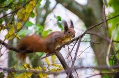 Белка на ветви в парке Стоковое фото RF