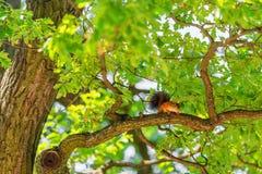 Белка на ветви дуба Стоковая Фотография