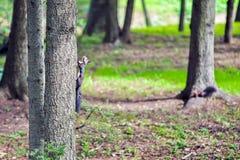 Белка на дереве в лесе Стоковое Изображение