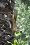 Белка на дереве в лете Стоковые Изображения RF