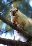 Белка на дереве сосенки Стоковая Фотография