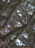 Белка на дереве среди ветвей Стоковая Фотография RF
