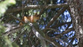 Белка на дереве среди ветвей Стоковые Изображения RF
