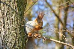 Белка на дереве Стоковые Изображения