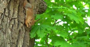 Белка на дереве сток-видео