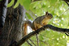 Белка на дереве Стоковая Фотография RF