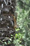 Белка на зеленом дереве Стоковое Изображение RF