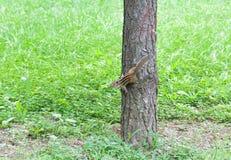 Белка на стволах дерева в лесе Стоковые Фото
