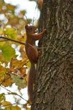 Белка на стволе дерева в лесе Стоковая Фотография