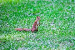 Белка на траве стоковые изображения