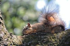 Белка отдыхая в дереве Стоковые Изображения