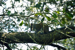 Белка отдыхая на дереве Стоковое Изображение RF