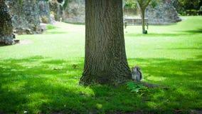 Белка под деревом, edmunds St хоронити, сады аббатства, Великобритания Стоковые Фотографии RF