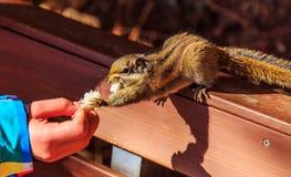 Белка принимая еду от руки Стоковая Фотография RF