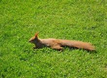 Белка протягиванная вне на лужайке Стоковая Фотография RF