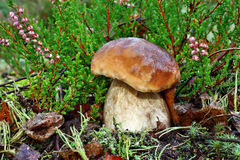 белка пущи s хлеба подосиновика edulis Стоковое Изображение