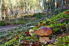 белка пущи s хлеба подосиновика edulis Стоковое Фото