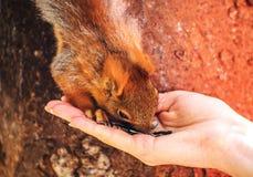 Белка трясет руки с дамой в парке города Белка ест от руки Стоковая Фотография