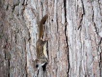Белка Fkying на дереве Стоковое Фото