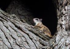 Белка Fkying на дереве Стоковая Фотография