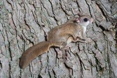 Белка Fkying на дереве Стоковая Фотография RF