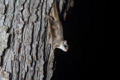 Белка Fkying на дереве Стоковое Изображение