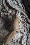Белка Fkying на дереве Стоковые Фотографии RF