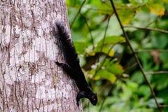 Белка ` s Prevost на стволе дерева Стоковые Фото