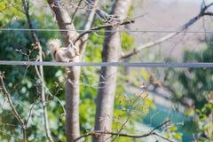 белка sciurus carolinensis восточная серая стоковое фото rf