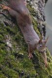 Белка (Sciurus vulgaris), взбираясь вниз дерево грецкого ореха с мхом стоковое фото rf
