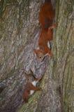 Белки на дереве Стоковое Изображение