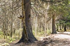 2 белки на подавая месте в лесе Стоковые Фотографии RF