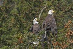2 белоголового орлана в елевом дереве Стоковые Фото