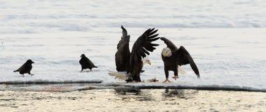 2 белоголового орлана и 2 ворона. Стоковые Фото