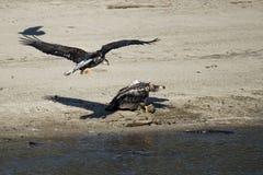 Белоголовые орланы воюя над рыбами Стоковые Изображения RF