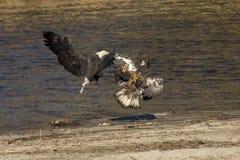 Белоголовые орланы воюя над рыбами Стоковое Изображение RF