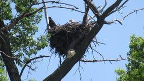 Белоголовые орланы в гнезде видеоматериал