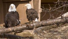 Белоголовые орланы Стоковая Фотография