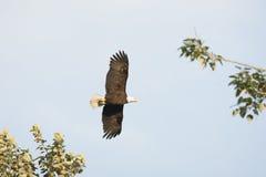Белоголовый орлан в крылах полета раскрывает Стоковые Фотографии RF