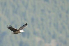 Белоголовый орлан в мягком свете Стоковая Фотография RF