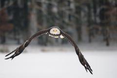 Белоголовый орлан летания - величественный символ США Стоковое Изображение
