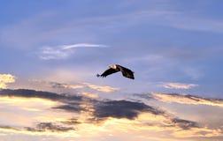 Белоголовый орлан летая над небом захода солнца Стоковые Изображения RF