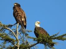 Белоголовый орлан и юноша Стоковая Фотография