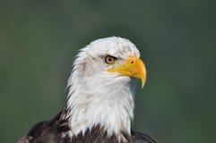 Белоголовый орлан - крупный план - голова только Стоковое Изображение RF