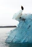 Белоголовый орлан на айсберге Стоковое Изображение